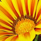 A Yellow and Maroon Striped Gazania Closeup by taiche