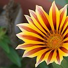 Gazania: Red, Gold and Green by taiche