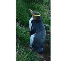 Hoiho, yellow eyed penguin Photographic Print