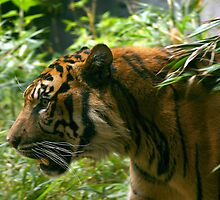 Sumatran Tiger paces before dinner by klphotographics
