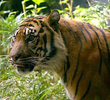 Sumatran Tiger awaits dinner by klphotographics