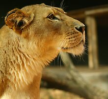 Lioness by klphotographics