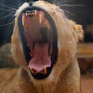 Lioness Yawns by klphotographics