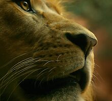 Lion close up waiting for food. by klphotographics