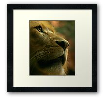 Lion close up waiting for food. Framed Print