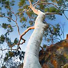 Ghost Gum tree by idphotography
