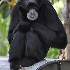 Crouching Gibbon by Cathy Cormack