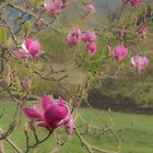 Magnolia Pink by DIANE  FIFIELD