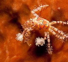 Boxer Crab, North Sulawesi, Indonesia by Erik Schlogl