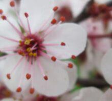 Crabapple Blossoms Sticker