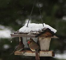 Female Cardinal and House Finch by KatsEye