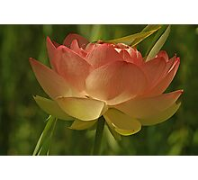 Lotus Flower w/ Willow Tree Photographic Print