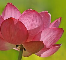 Pink Lotus W/Green Bkgd by Robert George