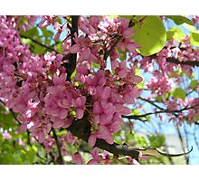 The Judas tree or siliquastro Photographic Print