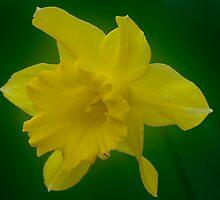 Daffodil by Scott Englund