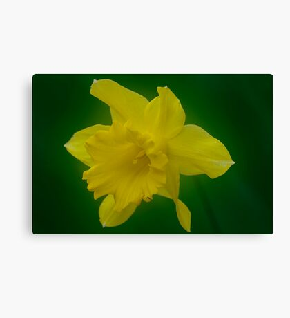 Daffodil Canvas Print