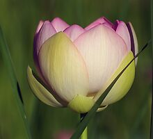 Lotus In Tall Grass by Robert George