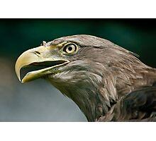 White-tailed Eagle (lat. Haliaeetus albicilla) Photographic Print