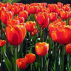 Orange Tulips by MEV Photographs