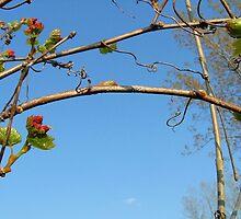 Wild grape buds by tanmari