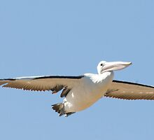 Pelican 1 by Chris Curnow