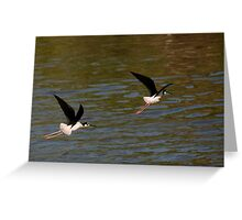 Black neck Stilts Greeting Card