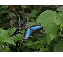 Landing --- Blue Morpho Photographic Print