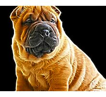 Shar Pei Photographic Print