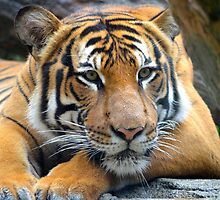 Relaxing Tiger by richardbryce