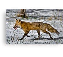 Meet the Daddy Fox... Canvas Print