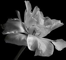 tulipa farewell by VickiOBrien