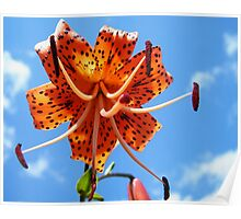 Asian Tigerlily Poster