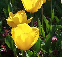 Yellow Tulips by Sue Ellen Thompson