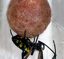 Black and Yellow Garden Spider Protecting Egg Sac by foto4fun