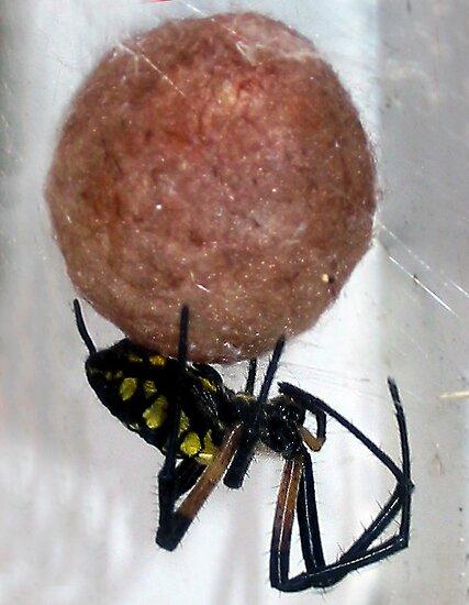 Black and yellow garden spider protecting egg sac by foto4fun redbubble for Garden spider egg sac