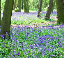Bluebell Woods by imagejournal