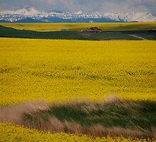 Alberta Canola Glory  by Judy Grant