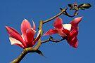 Blooming Magnolia Tree by Jo Nijenhuis