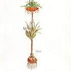 Fritillaria imperialis (Crown imperial) Botanical by Maree  Clarkson