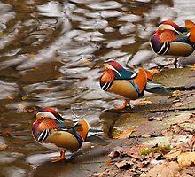 Mandarin ducks on the water by renifer