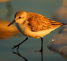Sandpiper Walking at Sunset by William C. Gladish