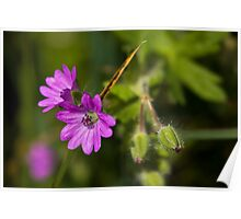 Dove's-foot Crane's-bill Poster