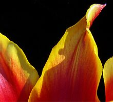 Tulip Tips by Rick Lawler