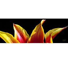 Tulip Tips Photographic Print