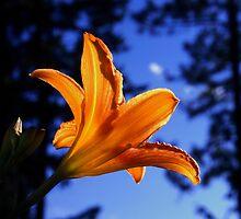 Lorinda's lily by Gabriel Dinim
