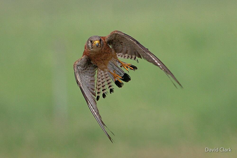 Lesser Kestrel in Flight by David Clark