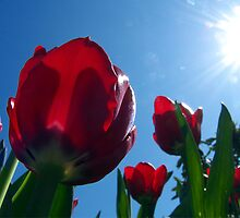 Tulips Reaching For the Sun by Rick Lawler