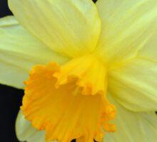 A Single Daffodil Sticker