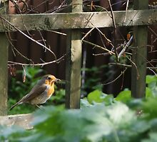 Robin Gathering for Nest by shane22