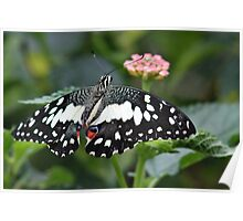 Chequered Swallowtail Poster